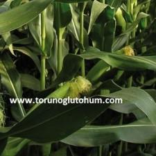 en verimli slajlık mısır tohumu tarlası
