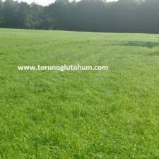 Ot Tipi Teff Grass tohum ithalatı
