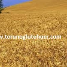 buğday tohumu satan firmalar