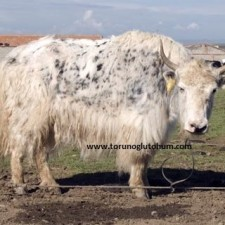 yak sığır özellikleri