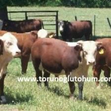 braford sığır ırkı