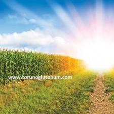 pioneer mısır tohumu çeşitleri