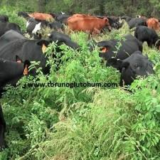 mashona sığır ırkı