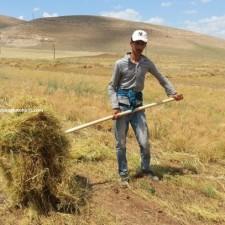 mercimek tohumu özellikleri