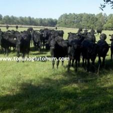 brangus sığır cinsi