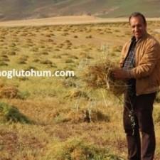 sertifikalı yeşil mercimek tohumu