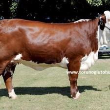 braford sığırı özellikleri