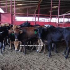 corriente sığır yetiştiriciliği