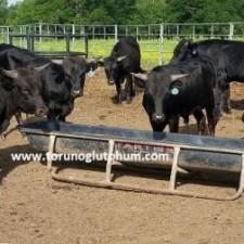 corriente sığırı satılık buzağı fiyatı