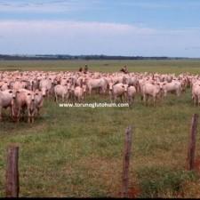 nelore sığır yetiştiriciliği