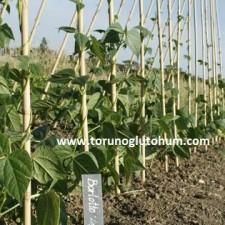 kuru fasulye tohumu hakkında bilgi