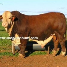 braford sığırı yetiştiriciliği