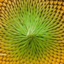 yağlık ayçiçeği tohumu çeşitleri