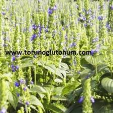 chia bitkisi faydaları
