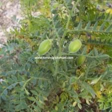 nohut tohumu yetiştiriciliği