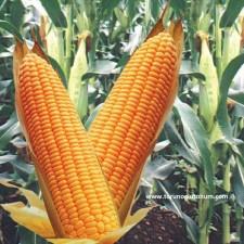 mısır çeşitleri isimleri
