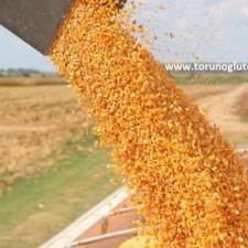 danelik mısır tohumu dekara verim