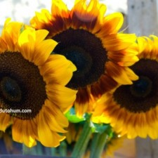 pioneer ayçiçeği tohumu fiyatı