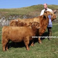 highlander sığır yetiştiriciliği