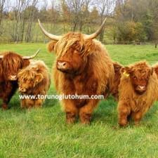 highlander sığır özellikleri