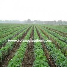 soya fasulyesi yetiştiriciliği