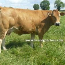 parthenaise sığırı süt verimi