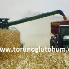 mısır kaç günde yetişir