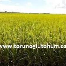 çeltik tarımı nerelerde yapılır