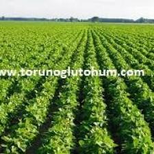 soya fasulyesi nerede satılır