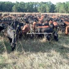 mashona sığır özellikleri
