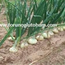 serada yeşil soğan yetiştiriciliği