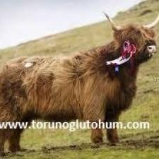highlander sığırı et verimi