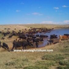 inek ırkları ve süt verimleri