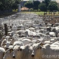 nolere sığırı ithalatı