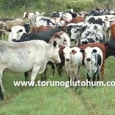 nguni sığır türü
