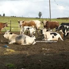 nguni sığır fiyatları