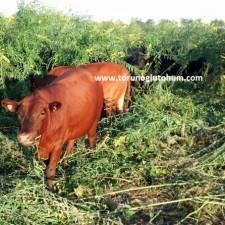 mashona sığırı yetiştiriciliği