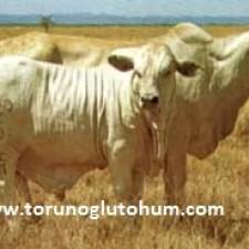 brahman sığırı süt verimi