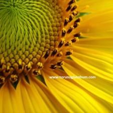 yağlık ayçiçeği yetiştiriciliği