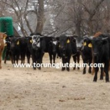 corriente sığırı satılık gebe düve fiyatları
