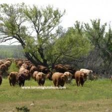 Satılık Beefmaster Gebe Düve Fiyatları
