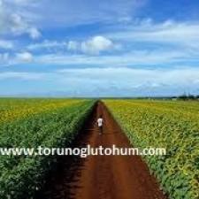 ayçiçeği tohumu nasıl ekilir