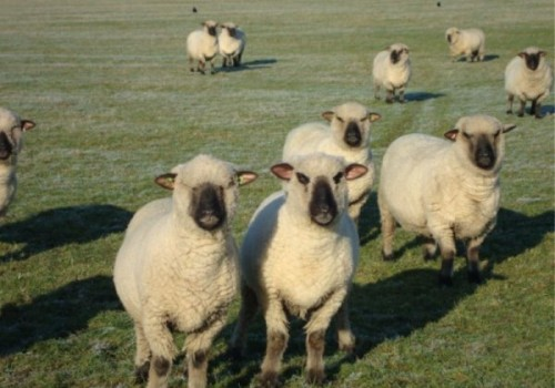 Oxford Koyun Irkı