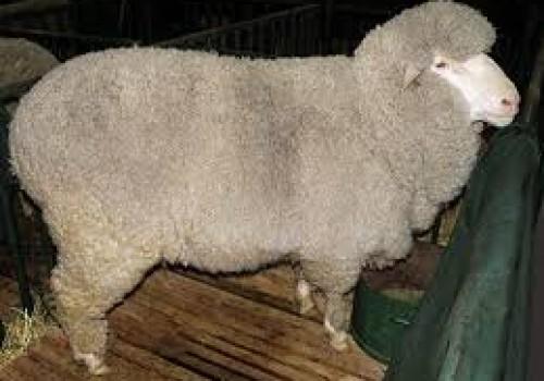 Panama Koyun Irkı