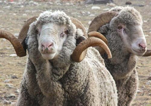 Ramboillet Koyun ırkı