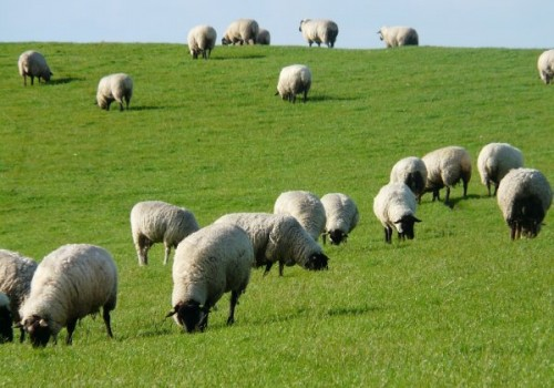 Rhön Koyun Irkı