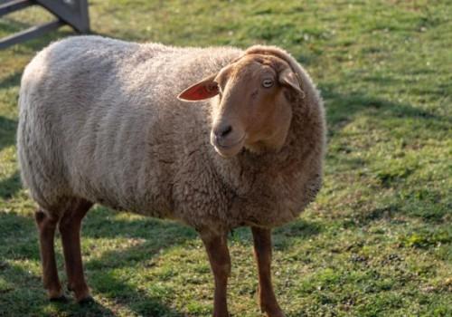 Fuchs (Tilki) Koyun Irkı