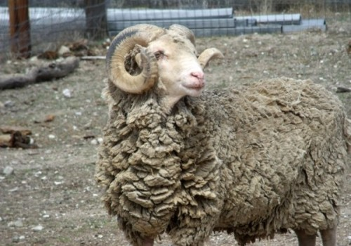 Santa Cruz Koyun Irkı
