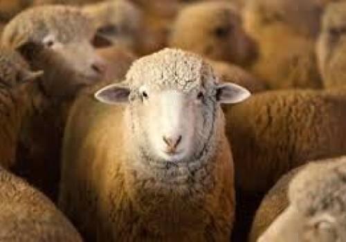 Targhee Koyun ırkı