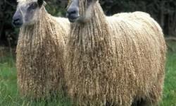 Wensleydale Koyun Irkı